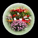 Bild für Kategorie Zierpflanzen