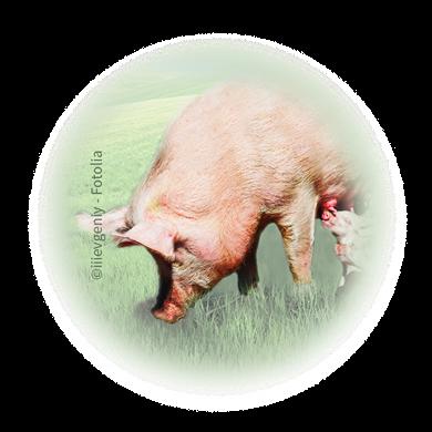 Bild für Kategorie Schweinehaltung
