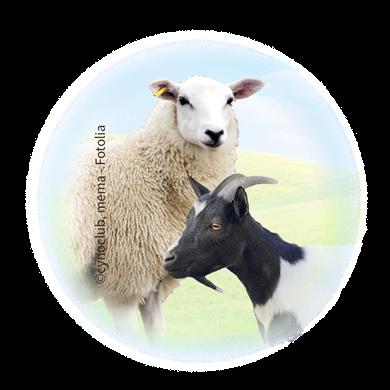 Bild für Kategorie Schafe + Ziegen