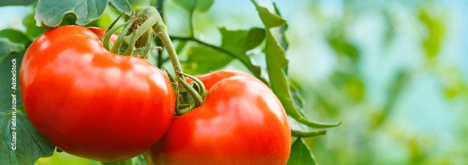 Tomaten mit EM anbauen