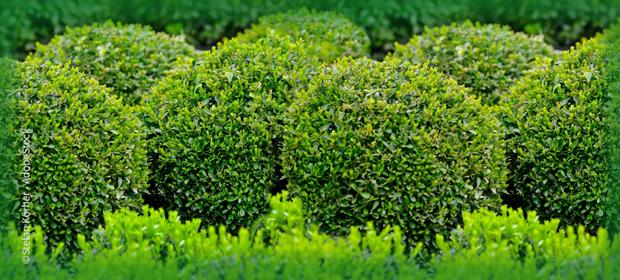 Buchsbäume mit EM® schützen