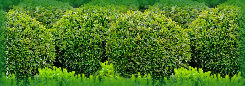 Buchsbäume mit EM schützen